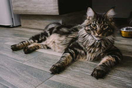 portrait of a big fluffy Maine Coon lying on the floor Foto de archivo