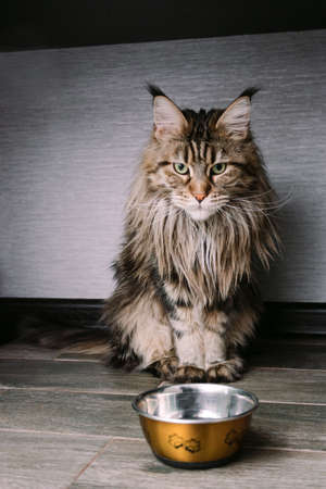 portrait of a big fluffy Maine Coon cat sitting on the floor near  a bowl