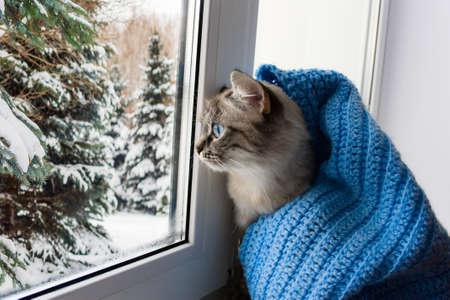 süße flauschige Katze mit blauen Augen, bedeckt mit einem gestrickten blauen Schal, sitzt auf einem Fensterbrett und beobachtet durch das Fenster auf verschneite Bäume Standard-Bild