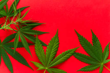 cannabis green leaves on a vibrant red background copy space