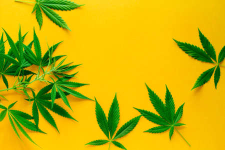 cannabis green leaves frame on a vibrant yellow background copy space, alternative medicine and legalization concept