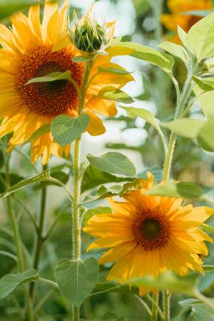 close up yellow sunflower flowers field