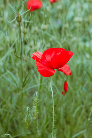 close up blooming red poppy flowers field Imagens - 128890014