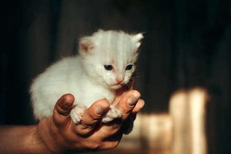 female hand holds a newborn white kitten Banco de Imagens