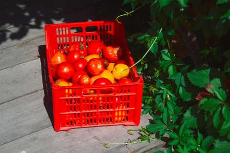 red plastic box full of fresh ripe organic tomato on wooden gazebo floor Фото со стока