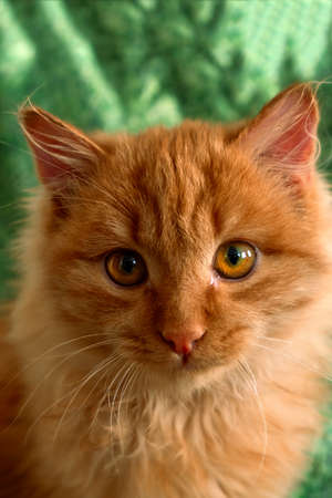 close up cute fluffy red cat on a green background 写真素材