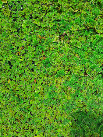top view texture of water plant in a pond for a background