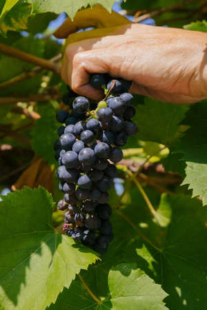 close up of male hands with pruning shears cutting a bunch of red grapes, winemaking and harvesting concept