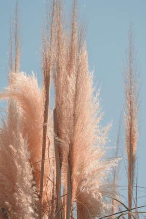 pampas grass against blue sky, minimal trendy art nature poster Stok Fotoğraf