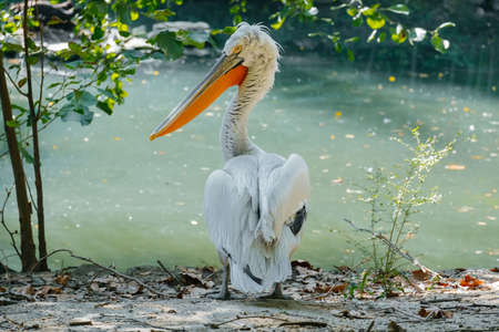 portrait of pelican bird on a pond in summer sunny day Banco de Imagens