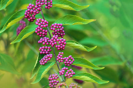 Close up beauty berries branches on a blurred green background in the garden. Bright natural wallpaper.