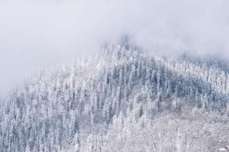 Natural winter wallpaper with snow covered trees and fog