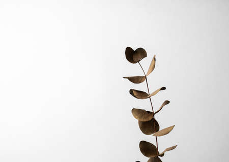 Eucalyptus dry brown leaves on a gray background, copy space