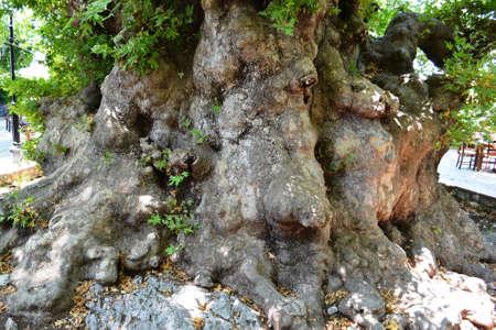 the ancient sycamore tree Stock Photo