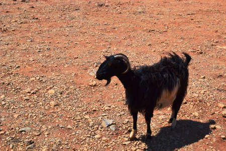 goat, red earth
