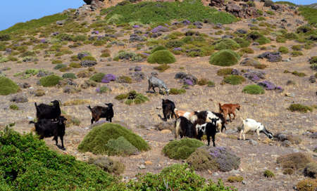 wild goats graze in the mountains of the island of Crete Stock Photo