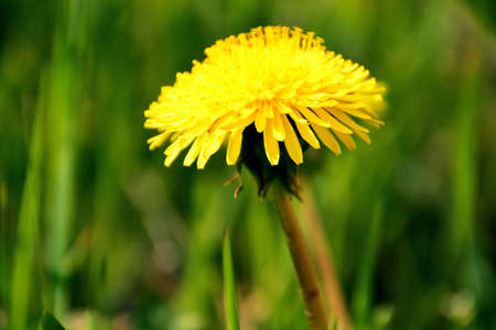 Closeup of a dandelion in a meadow of flowers. Spring