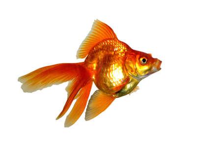 Pretty little gold fish in the aquarium Stock Photo