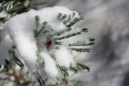 michigan snow: Snow covered Pine Stock Photo