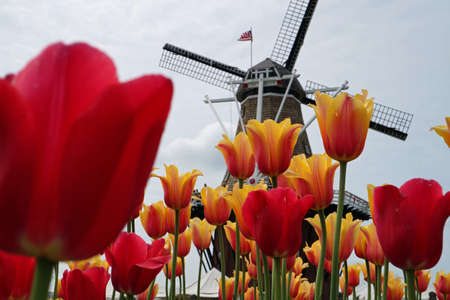 Windmill  Tulips