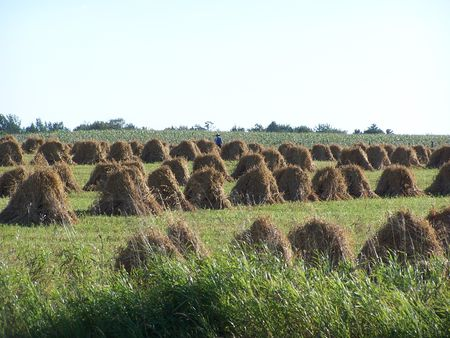 amish: Amish harvest