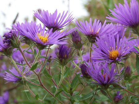 New England Asters Stock Photo