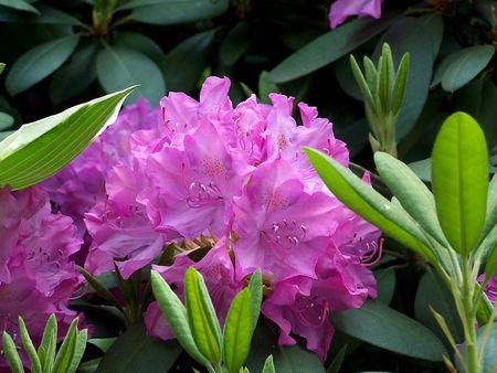 ericaceae: Purple Rhodadendron