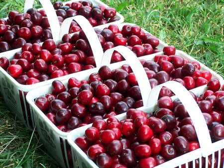 bing: White baskets filled with fresh sweet cherries Stock Photo