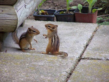 Playing chipmunks