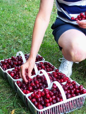 Woman adding cherries to baskets Stock Photo