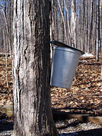 sap: Maple sap bucket hanging on tree in sugar bush