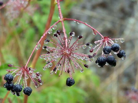 Sarsaparilla Berries