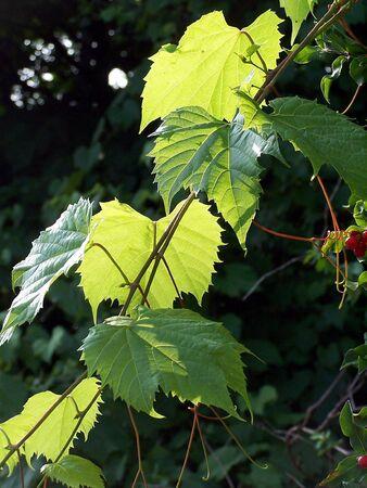 Las hojas de uva  Foto de archivo - 875119