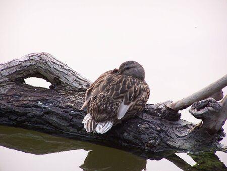 Female Mallard on Log Stock Photo