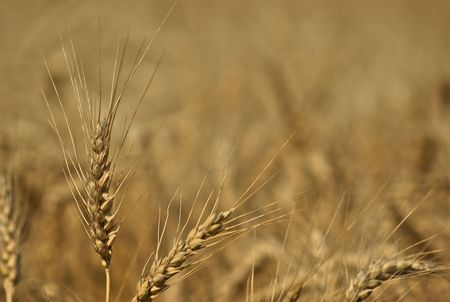 Golden field of wheat ripe for harvest