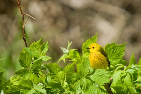 warbler: Yellow Warbler (Dendroica petechia) perched among bright green spring foliage