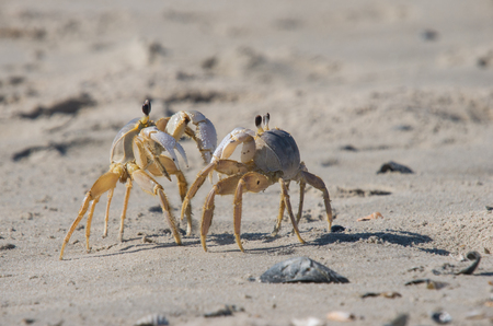 confrontational: Atlantic Ghost Crabs