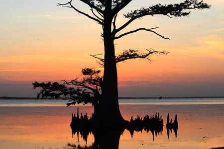 cypress tree: Cypress tree in sunset at Outer Banks of NC.