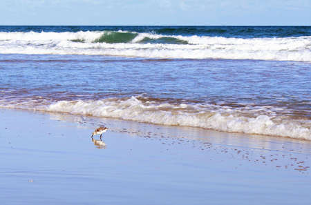 nags: Sandpiper having breakfast on the beach located in the outer banks of NC.        Stock Photo