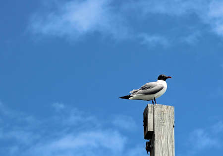 nags: Sea gull watching for food opportunities while sitting on a pier post located in the outer banks of NC.