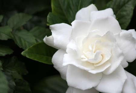 gardenia: Gardenia on green background