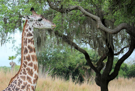 Giraffe head eating leaves from tree photo