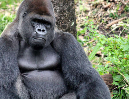gorilla: Gorrila looking on with intent expression
