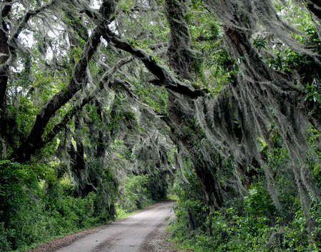 Moss filled oak trees line southern dirt road photo
