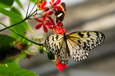 close up of black and white butterfly on red flowers with blurred background