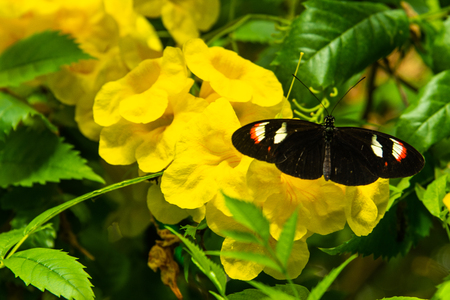 close up of black, white and red butterfly on yellow flower Фото со стока
