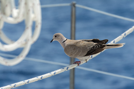 close up of a dove sitting on the life lines of a sailboat