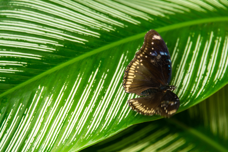 close up of brown and white butterfly on green leaf with white stripes