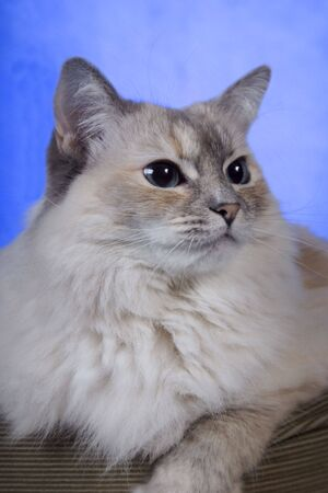 pure bred: White pure bred ragdoll cat with blue eyes