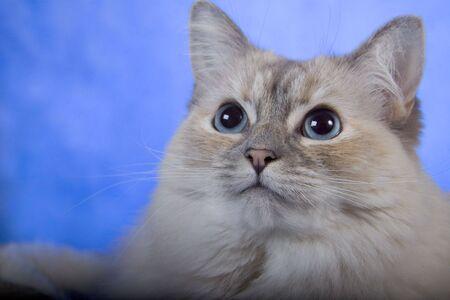 Ragdoll purebred blanco con los ojos azules Foto de archivo - 2395342